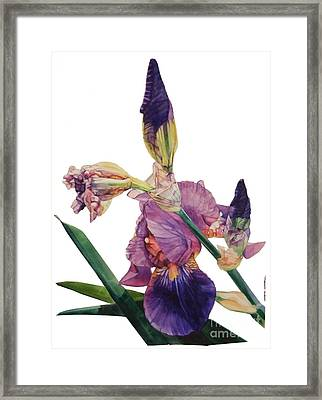 Watercolor Of A Tall Bearded Iris In A Color Rhapsody Framed Print