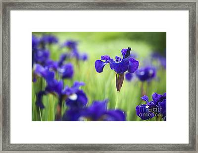 Iris Sibirica Shirley Pope Framed Print by Tim Gainey