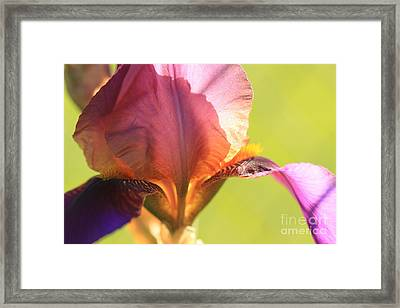 Iris Study 6 Framed Print by Jeanette French