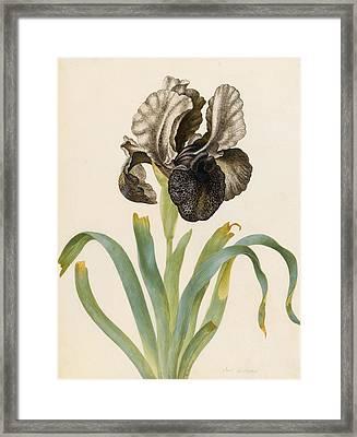 Iris Susiana Framed Print by Maria Sibylla Graff Merian
