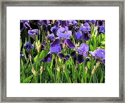 Iris Tectorum Framed Print by Yue Wang