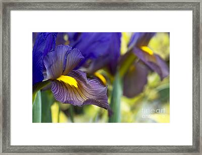 Iris Hollandica Eye Of The Tiger Framed Print by Tim Gainey
