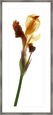 Iris Yellow Framed Print