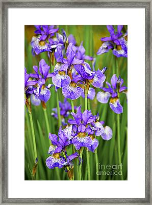 Irises Framed Print by Elena Elisseeva