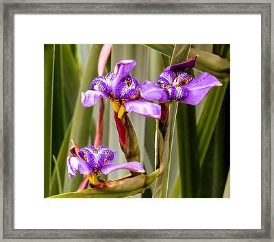 Irises Framed Print by Zina Stromberg