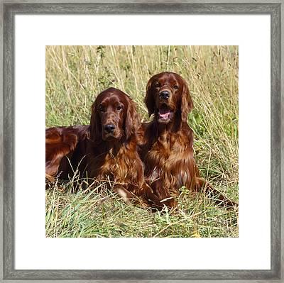 Irish Red Setter Dogs Framed Print by John Daniels