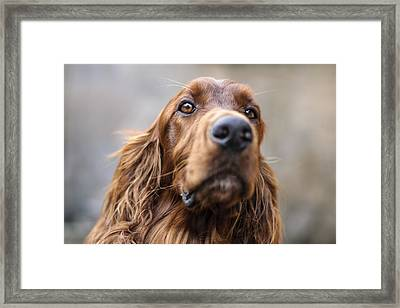 Irish Setter Framed Print by Robert Krajnc