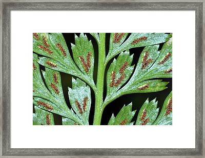 Irish Spleenwort (asplenium Onopteris) Framed Print