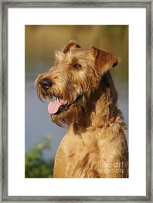 Irish Terrier Dog Framed Print