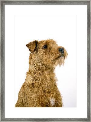 Irish Terrier Framed Print
