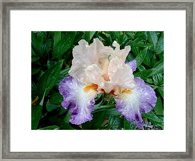 Irresistible Iris Framed Print by Roxy Hurtubise