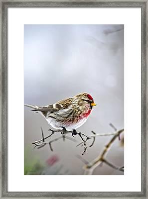 Irruptive Bird Common Redpoll Framed Print by Christina Rollo