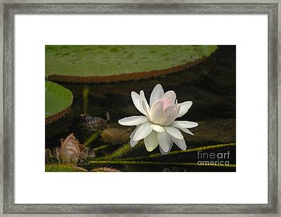 Ischian Water Lily Framed Print