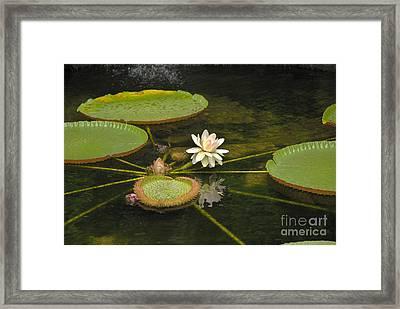 Ischian Waterlily Framed Print