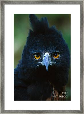 Isidoris Eagle Framed Print
