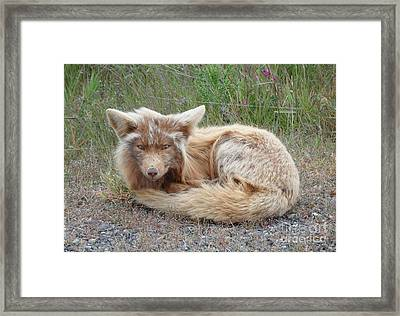 Island Fox Framed Print