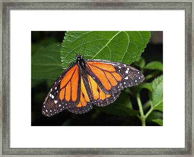 Ismenius Tiger Butterffly Framed Print by Dirk Wiersma