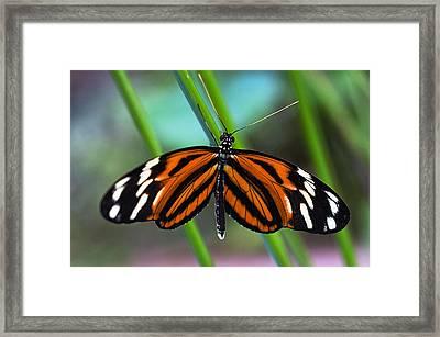 Ismenius Tiger Butterfly Framed Print by Cheryl Cencich