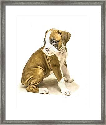 Isolated Boxer Puppy Framed Print by Tony Moran