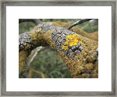 Isolated Lichen Framed Print