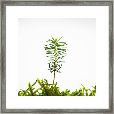 Isolated Spruce Seedling Framed Print