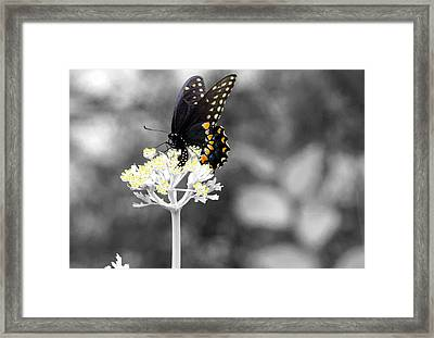 Isolated Swallowtail Butterfly Framed Print by Lorri Crossno