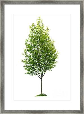 Isolated Young Tree Framed Print by Elena Elisseeva