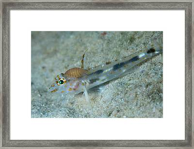 Isopod Attached To A Goby Framed Print