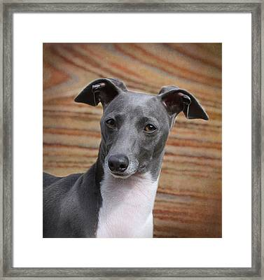 Italian Greyhound Framed Print by Angie Vogel