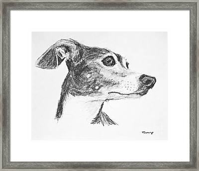 Italian Greyhound Sketch In Profile Framed Print by Kate Sumners