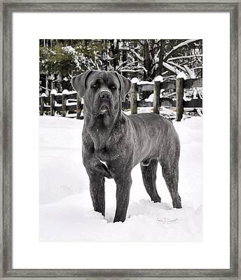 Italian Mastiff   Framed Print by Fran J Scott