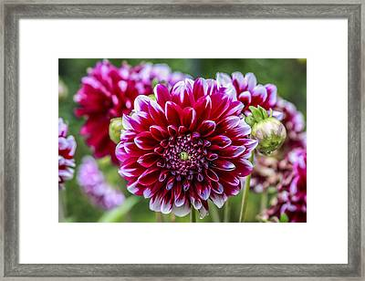 Its A Dahlia Dahling Framed Print by CarolLMiller Photography
