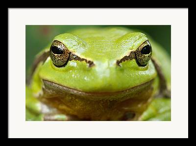 Frogs Photographs Framed Prints