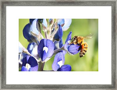 I've Got A Bee In My Bluebonnet Framed Print by Lorri Crossno
