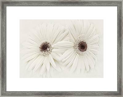 Ivory Gerber Daisy Flowers Framed Print