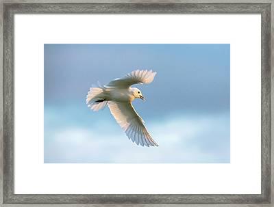 Ivory Gull In Flight Framed Print by Peter J. Raymond