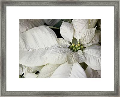 Ivory Poinsettia Christmas Flower Framed Print by Jennie Marie Schell