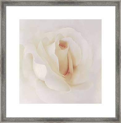 Ivory Rose Splendor Flower Framed Print by Jennie Marie Schell