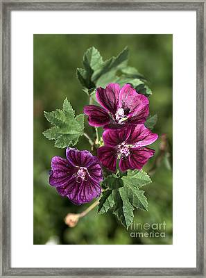 Ivy-leafed Geraniums   Framed Print by Joy Watson
