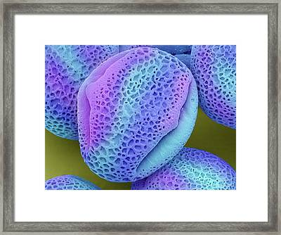 Ivy Pollen (hedera Helix) Framed Print by Steve Gschmeissner