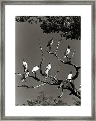 Jabiru Birds Framed Print