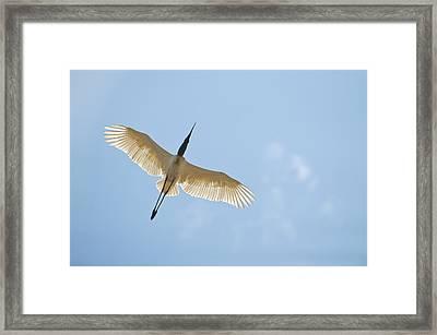 Jabiru Stork Jabiru Mycteria In Flight Framed Print