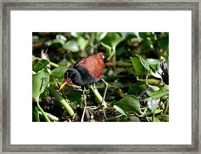 Jacanas Are Called 'jesus Birds' Framed Print by Jan and Stoney Edwards