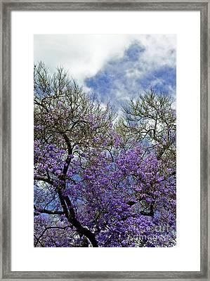 Jacaranda Framed Print by Gwyn Newcombe