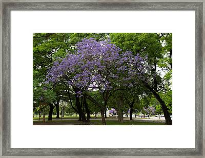Jacaranda In The Park Framed Print
