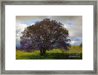 Jacaranda Tree Framed Print by Mike  Dawson