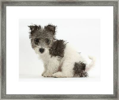 Jack Russel X Westies Pup Framed Print by Mark Taylor