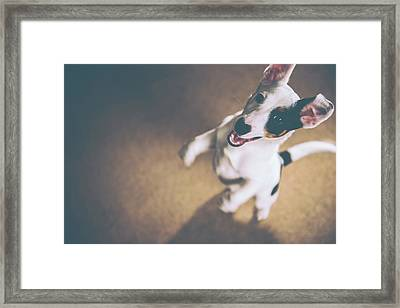 Jack Russell Jumping Framed Print by James Farley