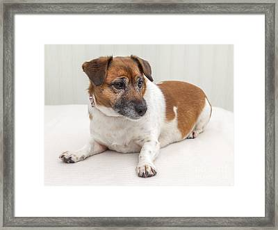 Jack Russell Portrait Framed Print by Colin and Linda McKie