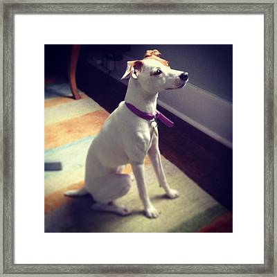 Jack Russell Terrier Framed Print by Christy Beckwith